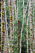 Dense stand of red alder trees (Alnus rubra) mixed with evergreen pine, Boulder River Trail, Mount Baker-Snoqualmie National Forest, Washington.