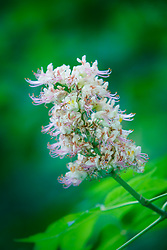 Texas Buckeye Tree (Aesculus glabra var. arguta) in flower, Texas Buckeye Trail, Trinity River, Dallas, Texas, USA.