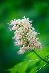 Texas Buckeye Tree (Aesculus glabra var. arguta) in flower, Texas Buckeye Trail, Trinity River, Dallas, Texas, USA.