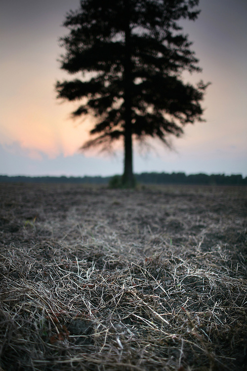 PHOTO BY CHRIS GRANGER..Monday October 1, 2007..One tree survived logging and being cut down for farm use in the Singer Tract at Tensas National Wildlife Refuge.