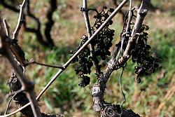 Alla fine della vendemmia di solito vengono lasciati sulla pianta i grappoli d'uva un pò acerbi che potrebbero abbassare la gradazione zuccherina del mosto. Questo è ciò che ne rimane nel periodo invernale.