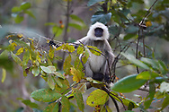 Southern plains gray langur or Hanuman langur, Semnopithecus dussumieri, in Kanha National Park and Tiger Reserve, Madhya Pradesh, India