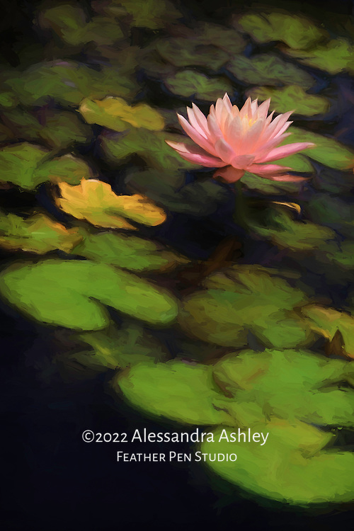 Single peach water lily blooming in garden pond with petals open to sun's rays.