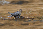 Stock photo of an American Dipper captured in Colorado.  These birds feed in fast moving streams and rivers. They feed on aquatic insects and their larvae.  The presence of this indicator species shows good water quality.