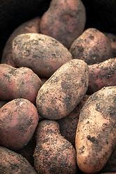 Potato 'Sarpo Axona' - Solanum tuberosum - in a colander