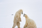 Young polar Bears (Ursa maritimus) sparring on sub-arctic Hudson Bay <br />
