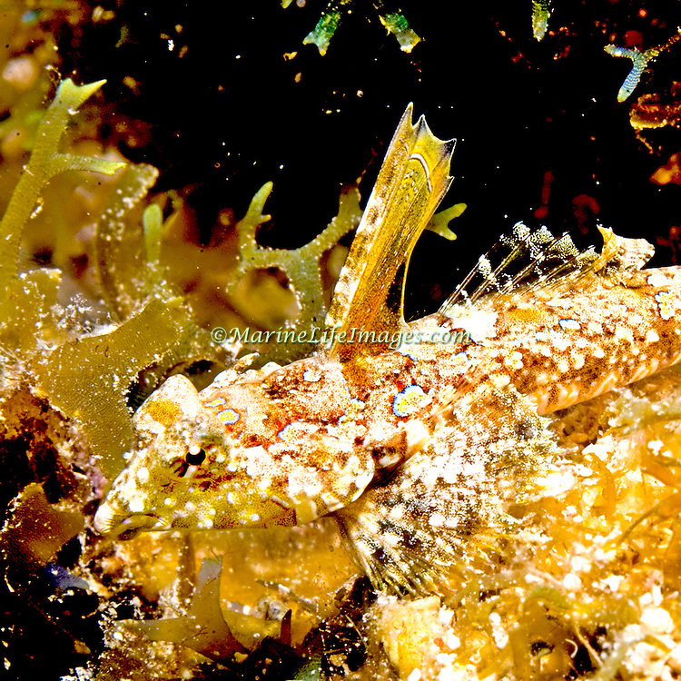 Lancer Dragonet inhabit areas of sand and rubble in Tropical West Atlantic, males court by raising large 1st dorsal fin; picture taken St. Vincent.