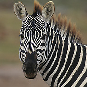 A Burchell's Zebra (Equua burchelli) in Kenya, Africa.