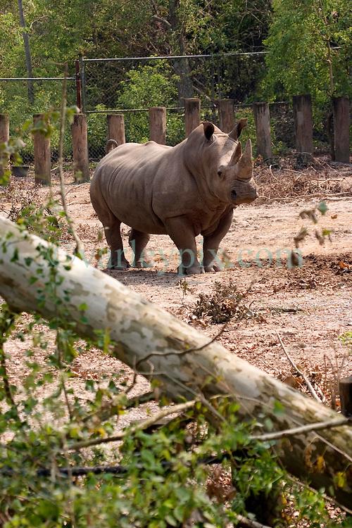 03 September 2005. New Orleans, Louisiana.  Post Hurricane Katrina.<br /> Fallen trees at the Rhino enclosure at the zoo.<br /> Photo Credit ©: Charlie Varley/varleypix.com