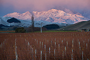 Snow Capped Mountains at dawn frame Villa Maria vineyards, Marlborough, New Zealand