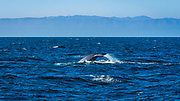 Blue Whale (Balaenoptera musculus) at Santa Cruz Island, Channel Islands National Park, California USA
