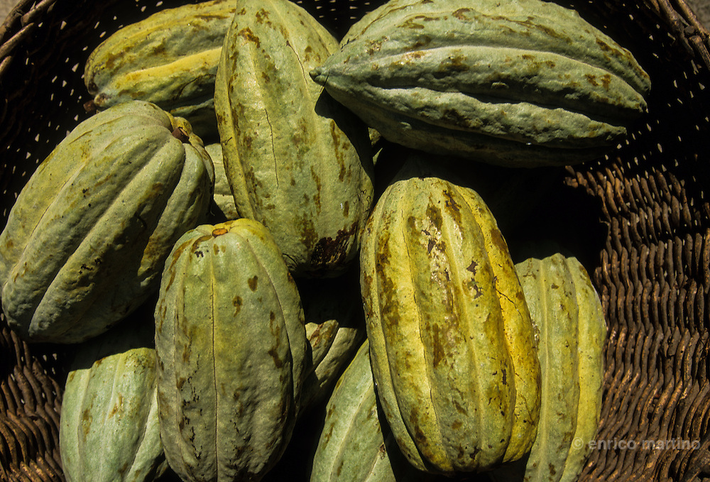 Cardenas, cacao plantations. The ancient cacao variety is cacao criollo, which today is prized for it's more delicate flavor. Though the cacao plant does not derive from Mexico, it was in Mexico that indigenous communities, largely the Mayas, first cultivated the plant and consumed cacao as a drink.