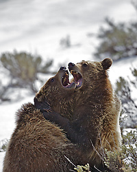 Grizzly Bear Hug, not for the faint of heart. Grizzly cubs wrestling and playing in Grand Teton National Park.  Sibling rivalry and bear hugs all around.