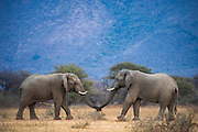 African Elephant (Loxodonta africana)<br /> <br />  Province<br /> SOUTH AFRICA<br /> RANGE: Throughout sub-Saharan Africa