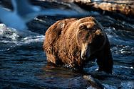 Bear 775 Lefty in the Brooks River, Katmai National Park