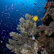 Soft coral with lots of magenta slender Anthias and a couple of golden damselfish, on a steep wall in the Eastern Fields of Papua New Guinea