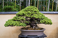 """Bonsai is a Japanese art form using miniature trees grown in containers. This art form comes from Chinese tradition of penjing from which it originated.  The Japanese tradition dates back over a thousand years, and has its own set of aesthetics.  The purpose of bonsai are pleasant contemplation for the viewer, and the satisfaction of effort and ingenuity for the gardener.  Some species of tree are popular as bonsai material because they have small leaves that make them suitable for the compact scope -  relatively small and to meet the aesthetic standards of bonsai. The tree's growth is restricted by the pot environment and continually shaped to limit its growth, and encourage vigor to areas requiring further development.  Unlike """"dwarfing"""" Bonsai makes use of root reduction, pruning, and defoliation to produce small trees that mimic the shape and style of mature, full-size trees."""