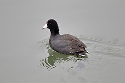 Coot (Fulica).an aquatic bird of the rail family, with blackish plumage, lobed feet, and a bill that extends back onto the forehead as a horny shield.
