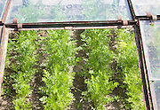 Close up of carrots growing in cold frame