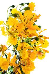 Royal Poinciana -yellow#2