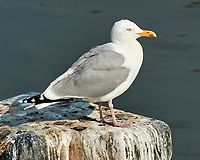 Herring Gull (Larus argentatus). Viewed from the deck of the MV Explorer transiting the Keil Canal in Germany. Image taken with a Nikon N1V2 camera and 80-400 mm VR lens.
