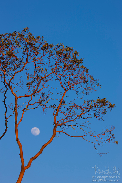 The nearly full moon rises between the branches of a madrona tree, located near Eatonville, Washington.