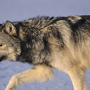 Gray Wolf (Canis lupus) adult during the winter in the midwest.  Captive Animal