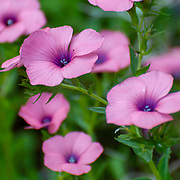 Linum pubescens, the hairy pink flax,