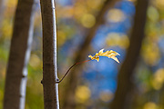 Maple leaf (Acer species), October, afternoon light, Cheshire County, New Hampshire, USA