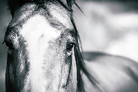 Looking into the eyes of a horse as it grazes the sparse fields on a cold Winter day. Black and white (monochrome) version.