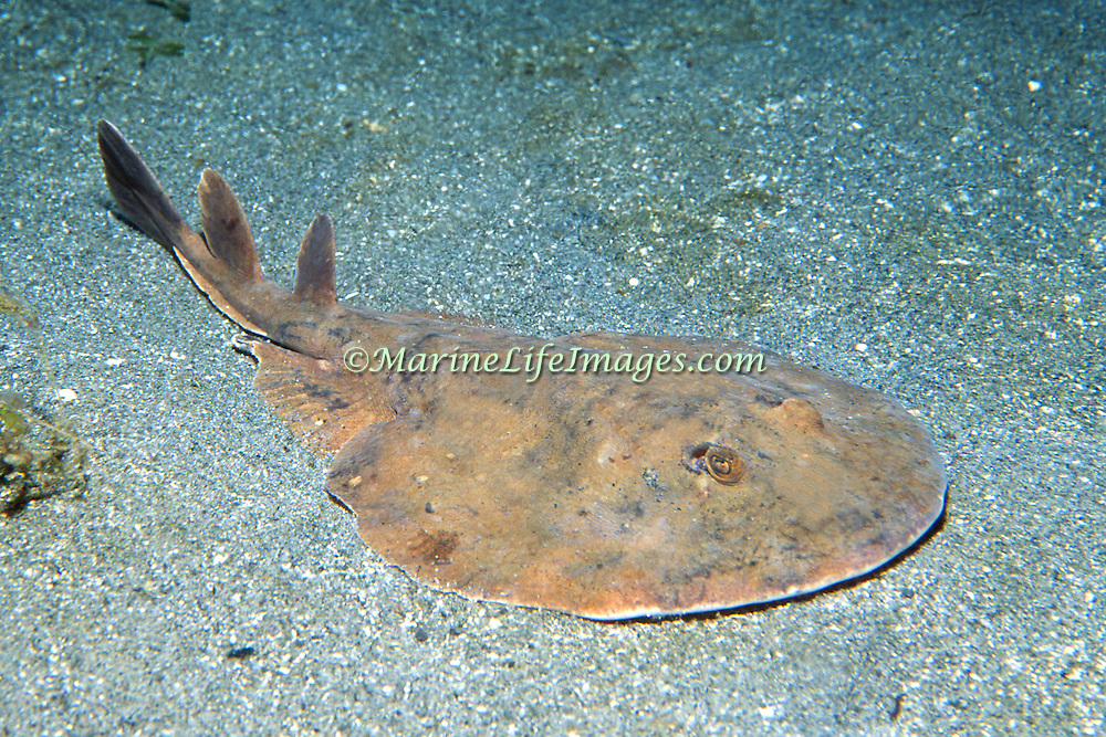 Lesser Electric Ray inhabit sand, rubble and seagrass areas, often in lagoons and bays in Tropical West Atlantic; picture taken St. Lucia.