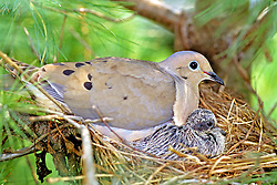 Morning Dove With Baby