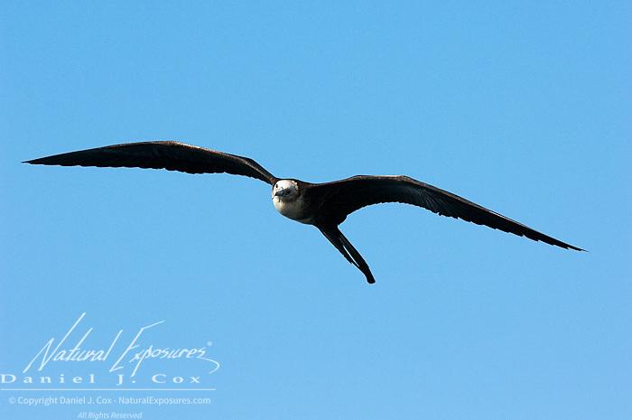 Juvenile Magnificent Frigatebird (Fregatus magnificens) flying Galapagos, Ecuador.