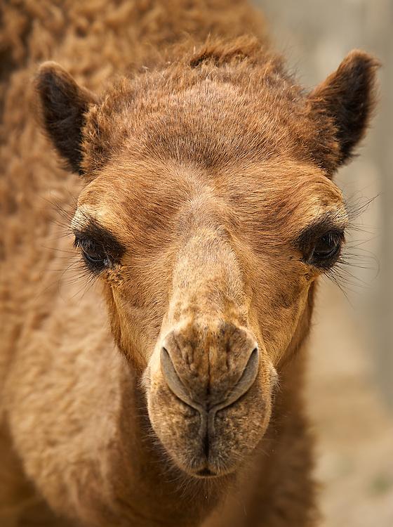 Tunisia - Camel - Bambi