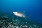 tiger shark, Galeocerdo cuvier, with small remora or sharksucker on chin, swims up reef slope, Honokohau, Kona, Big Island, Hawaii, USA ( Central Pacific Ocean )