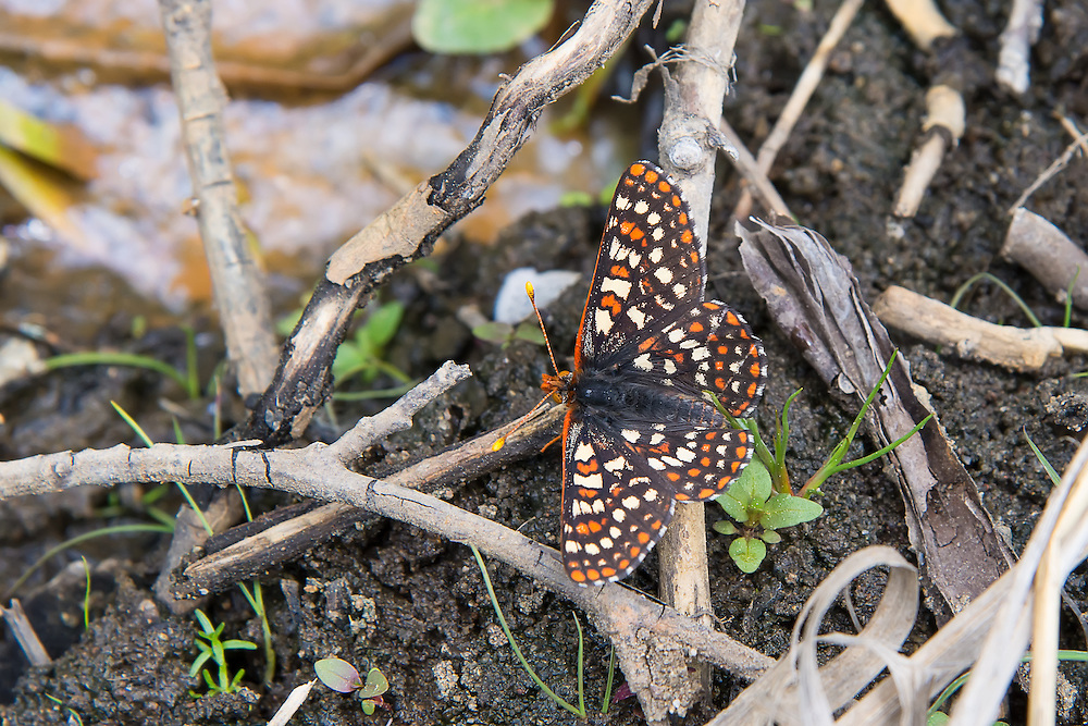 Typical coloration of the northwestern form of the variable checkerspot butterfly pausing near the side of a creek, photographed here in Kittitas County, Washington.