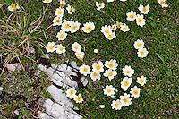 Mountain avens / white dryas (Dryas octopetala)  - Europe, Italy, South Tyrol, Sexten Dolomites, Tre Cime - Afternoon - July 2009 - Mission Dolomites Tre Cime
