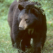 Black Bear, (Ursus americanus) Minnesota, large male bear emerges into meadow. Summer.