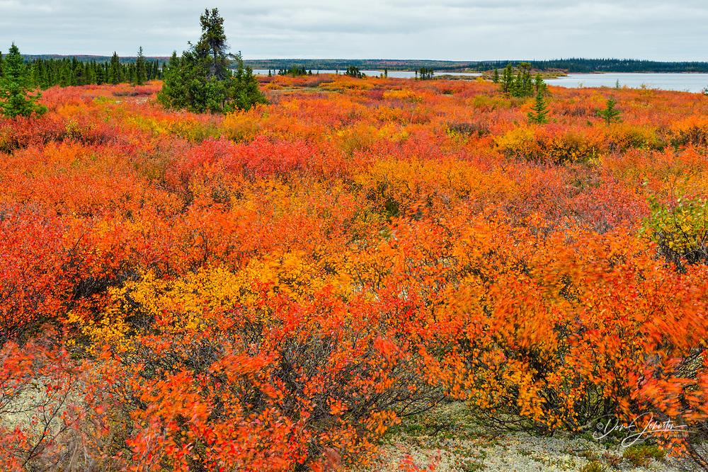 Autumn foliage (dwarf birch and blueberry), Arctic Haven Lodge, Ennadai Lake, Nunavut, Canada