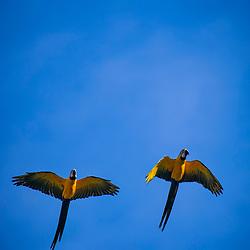 Arara-canindé (Ara ararauna) fotografado em Goiás - Centro-Oeste do Brasil. Bioma Cerrado. Registro feito em 2015.<br /> ⠀<br /> ⠀<br /> <br /> <br /> <br /> <br /> <br /> ENGLISH: Blue-and-yellow Macaw photographed in Goias - Midwest of Brazil. Cerrado Biome. Picture made in 2015.