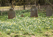 Daffodils flowering in country graveyard in Spring, Shottisham, Suffolk, England, UK