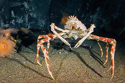 Japanese spider crab, or giant spider crab, Macrocheira kaempferi, endemic to Japan (c)