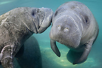 Florida manatee, Trichechus manatus latirostris, a subspecies of the West Indian manatee, endangered. A male and female manatee socialize together in the warm spring fed waters. Horizontal orientation, undisturbed. Three Sisters Springs, Crystal River National Wildlife Refuge, Kings Bay, Crystal River, Citrus County, Florida USA.