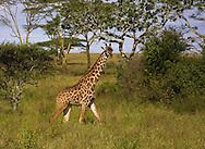 Young giraffe, Serengeti National Park, Tanzania