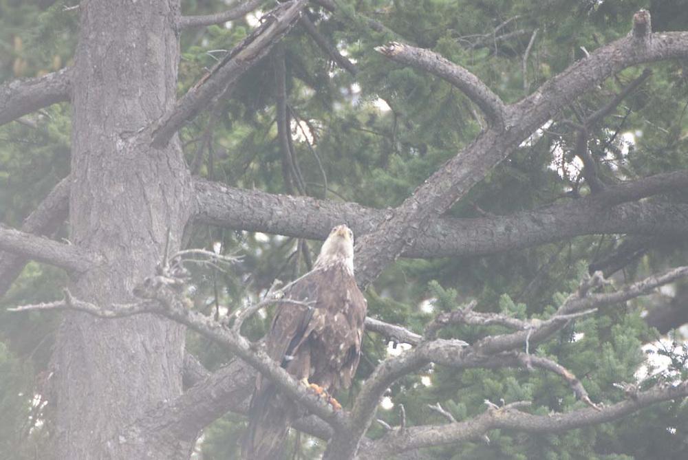 Fledgling Bald Eagle, Orcas Island (Haliaeetus leucocephalus), San Juan Islands, Washington, US
