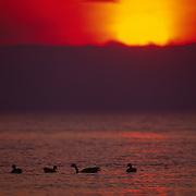 Yellowstone National Park, Canada Geese on Lake Yellowstone at sunset.