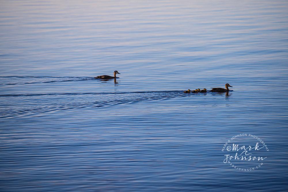 A pair of ducks with their ducklings, Lake Cootharaba,  Elanda Point, Queensland, Australia