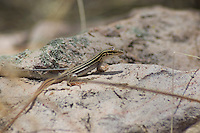 Desert grassland whiptail, Cnemidophorus uniparens, an all-female species that reproduces by parthenogenesis. Sycamore Canyon, Coronado National Forest, Arizona.