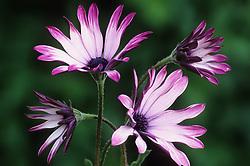Osteospermum 'Cannington Sian'. African Daisy
