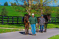 Thoroughbred mares and foals being returned from paddock to stables, Winstar Farm, Versailles (Lexington), Kentucky USA.